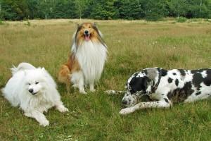 Hunde im entspannten Rudel